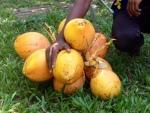 Kookospähkinän mehu on liukasta ja puhdasta.