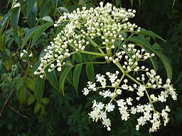 256px-Azadirachta_indica_flowers